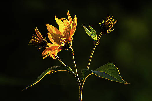 Sun King by Su Buehler