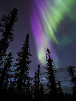 Ian Johnson - Sun-Kissed Aurora Above the Spruces