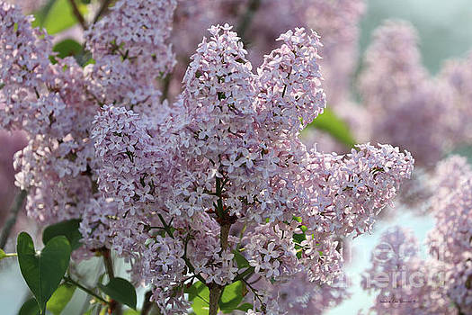 Sandra Huston - Sun Kissed Lilacs