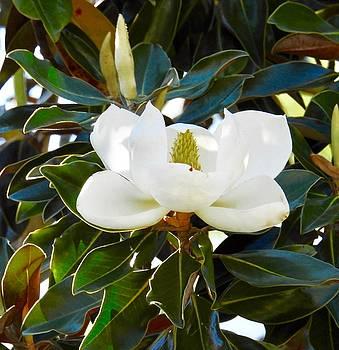 Sun Kissed Magnolia by Sheila Price