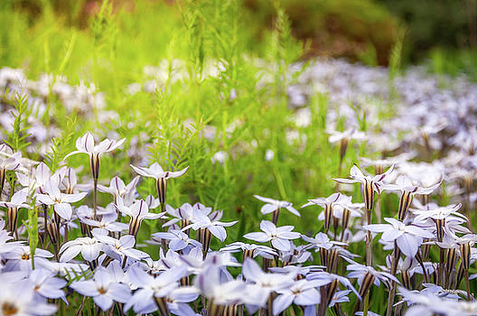 Sun-kissed Meadows with White Star Flowers by Daniela Constantinescu