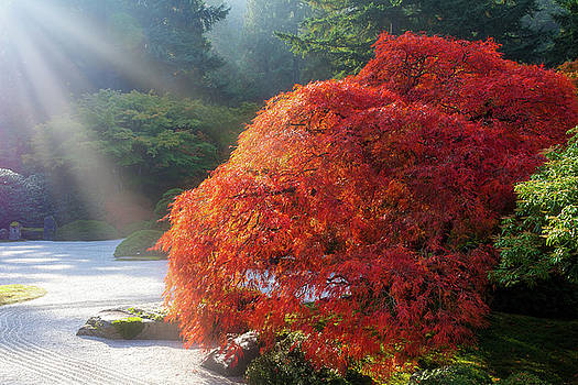 Sun Rays over Old Japanese Maple Tree by David Gn