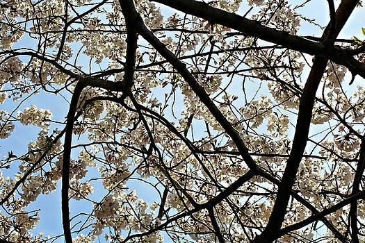 Andrew Davis - Sun Shining Through White Cherry Blossom Branches