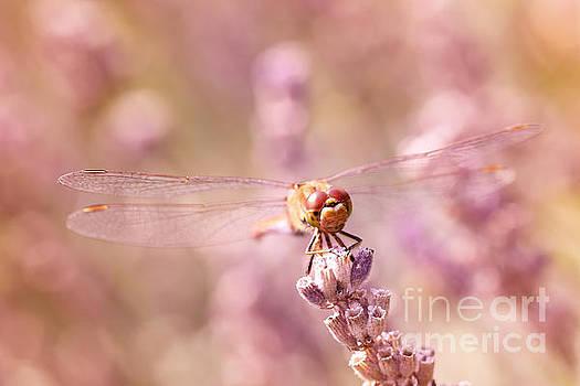 LHJB Photography - Sunbathing between lavender