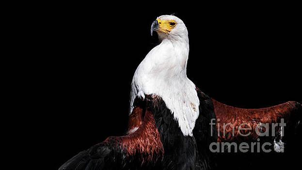Sunbathing Eagle by Eyeshine Photography