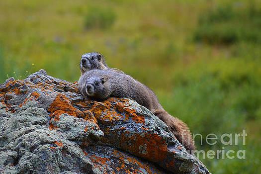 Kate Avery - Sunbathing Marmots