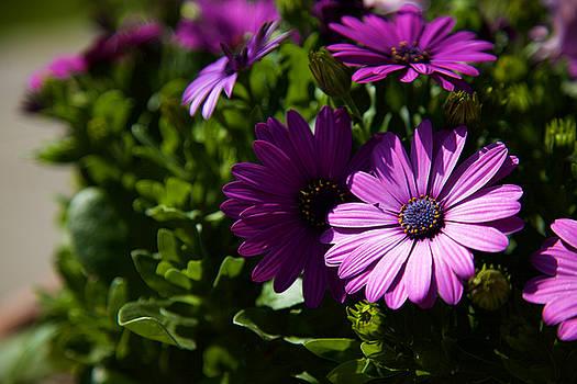 Sunbathing Purple Daisy by Fedil