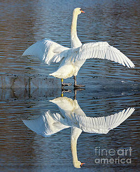 Sunbathing Swans by Odon Czintos