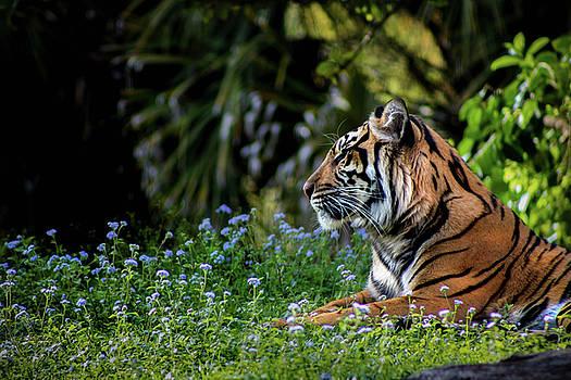 Sunbathing Tigris by Luis Rosario