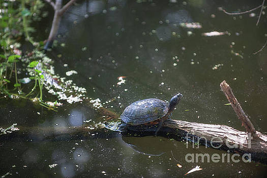Dale Powell - Sunbathing Turtle