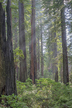 Sunbeams Through The Forest by Paul Schultz