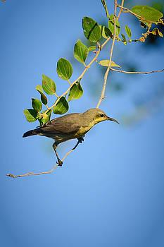 Sunbird by Balram Panikkaserry