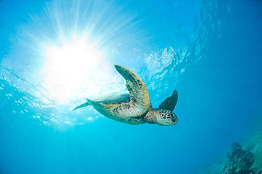 Sunburst Sea Turtle by Monica and Michael Sweet