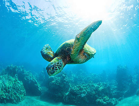 Sunburst Turtle by Michael Sweet