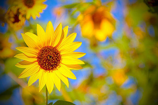 Sunflower - Happy by Mike Hill