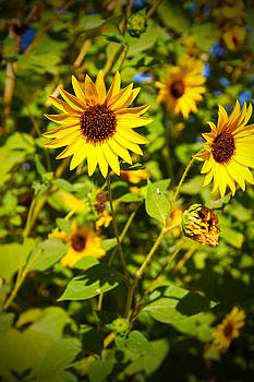 Sunflower - High Noon by Mike Hill