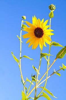 Sunflower - Wild  by Mike Hill