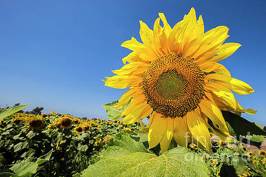 Sunflower 1 by Daniel Knighton