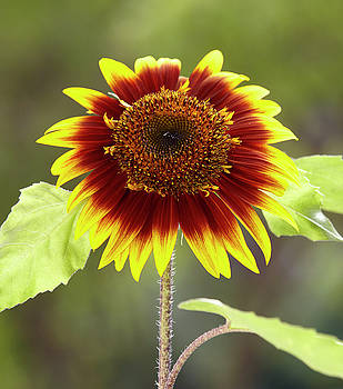 Sunflower 2 by Garden Gate