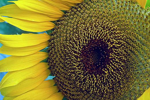 Sunflower-2 by Steven Foster