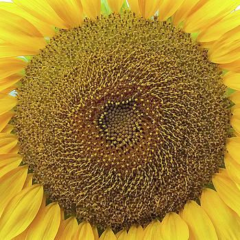 Sunflower,  2016 v.2 by Joseph Duba
