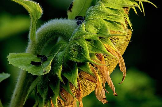 Sunflower 2017 14 by Buddy Scott