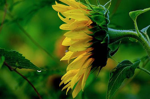 Sunflower 2017 3 by Buddy Scott