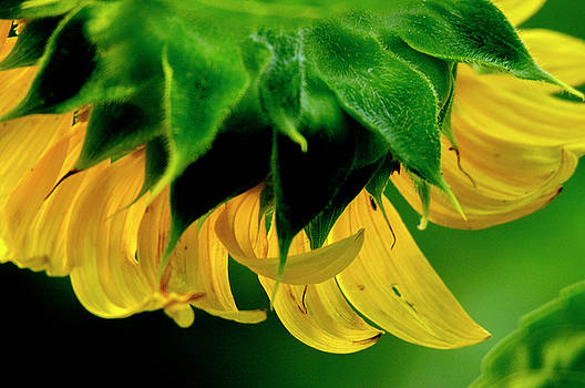 Sunflower 2017 6 by Buddy Scott