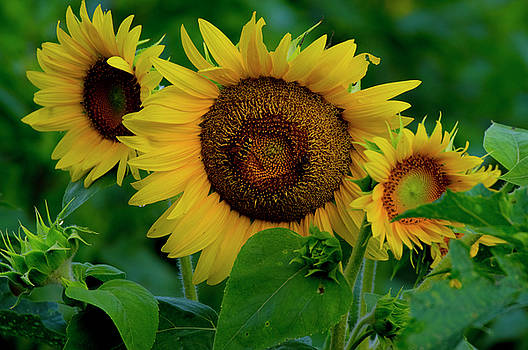 Sunflower 2017 9 by Buddy Scott