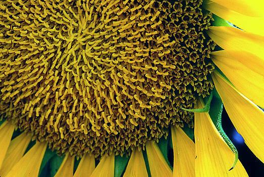 Sunflower-3 by Steven Foster