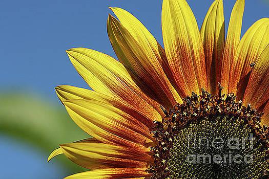 Sunflower 38 by Cindi Ressler