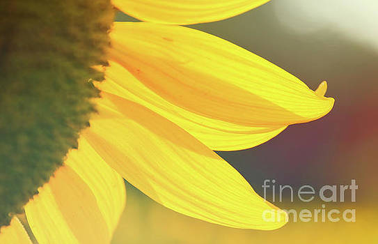Sunflower 5 by Andrea Anderegg
