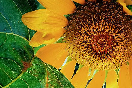 Sunflower-6 by Steven Foster