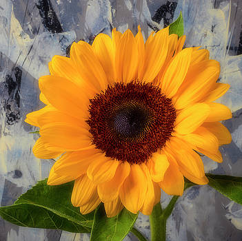 Sunflower Against Gray Wall by Garry Gay