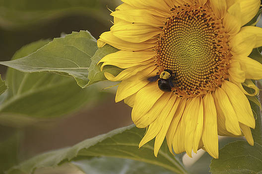 Sunflower and Bee by Alexander Rozinov