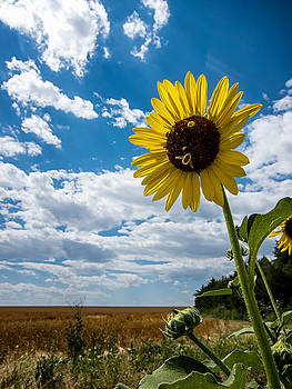 Mary Lee Dereske - Sunflower and Bees on the Edge of the Prairie