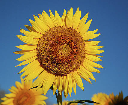 Sunflower and Blue Sky by Nancy Landry