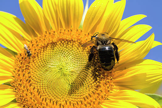 Sunflower and Bumble Bee Closeup by Kathy Clark