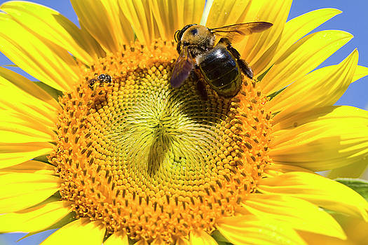 Sunflower and Bumble Bee Macro  by Kathy Clark