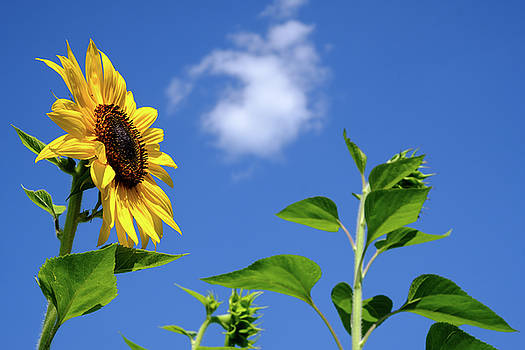 Sunflower and Friend by Glenn DiPaola