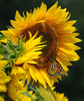 Edward Sobuta - Sunflower and Monarch 3