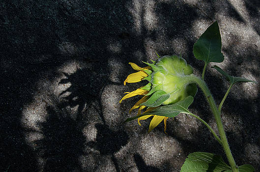 Sunflower and Shadow by Pam Kaster