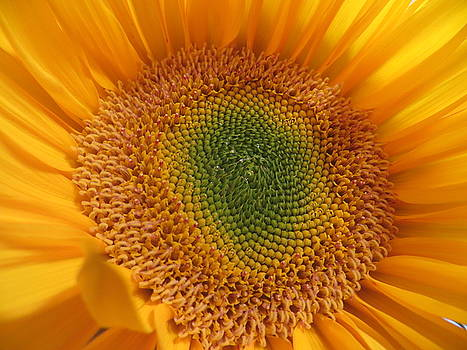 Sunflower by Ann Sullivan
