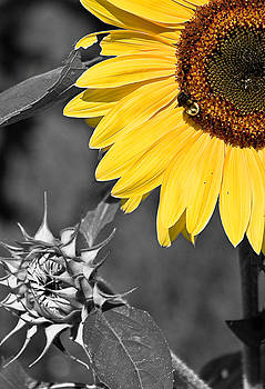 Sunflower by Antonio Gruttadauria