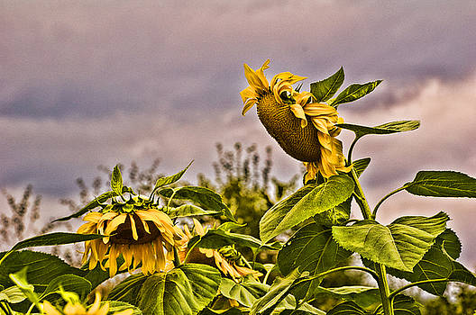 Edward Sobuta - Sunflower Art 2