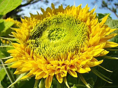 Baslee Troutman - Sunflower art prints Yellow Sun Flower