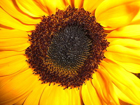 Sunflower as is by Hasmig Mouradian