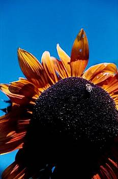 Sunflower Bee and Sky by Sarah Anderson