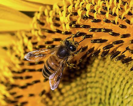 Sunflower Bee by J Austin