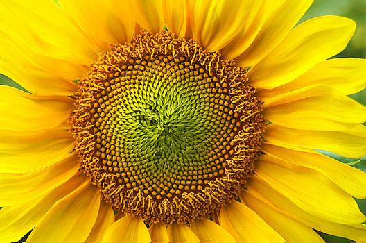 Sunflower   by Benanne Stiens